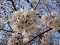 2008_03_29_sakura2.jpg