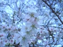 2008_11_13_sakura2.jpg