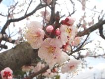 2009_03_11_sakura.jpg